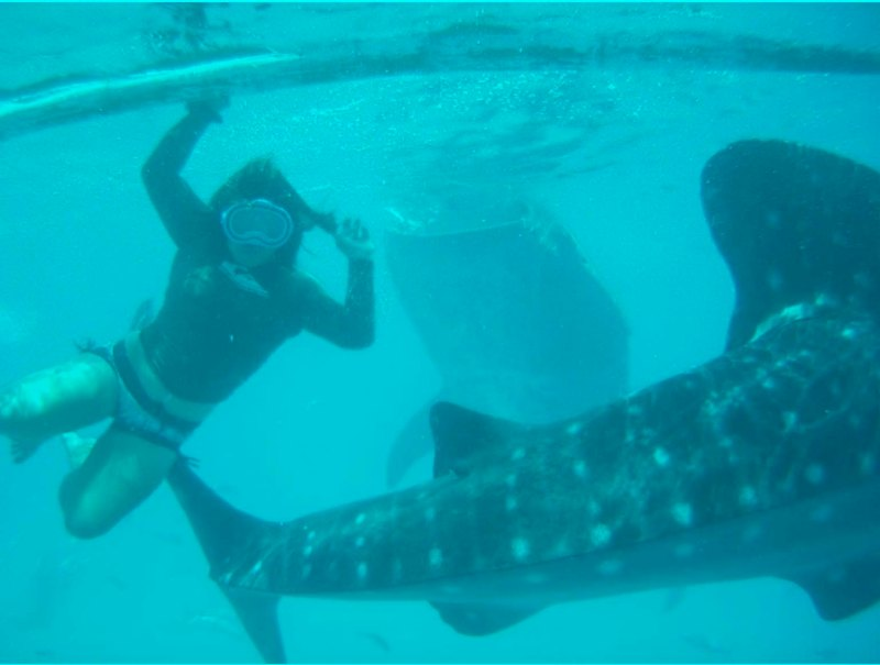 Oslob, cebu, philippines whale shark swimming